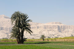 Egypt palm Royalty Free Stock Photos