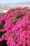 Egypt. Pink flowers. Egypt. Flowers in Resort Sharm-Al-Sheikh Royalty Free Stock Image
