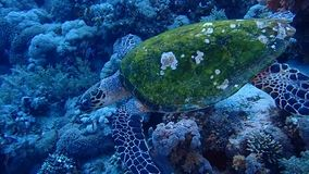 Egypt Red Sea Tiran Island. Jackson Reef stock video footage