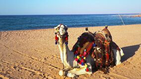 Egypt Tourism With Camel And Danger Of Mers Corona Virus Stock Footage Video Of Blue Outdoor 185525644