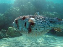 Egypt underwater red sea taba fish Royalty Free Stock Image