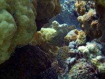 Egypt underwater red sea taba fish. Nice natural wild life Stock Photography
