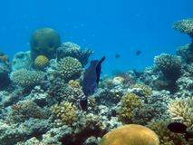 Egypt underwater red sea taba Moon fish Stock Photo