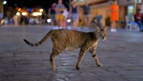 Egypte : Un chat égyptien gris sans abri errant dans la rue nocturne occupée banque de vidéos
