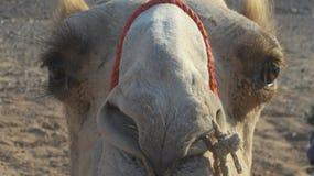 Egypten kamel Arkivbild