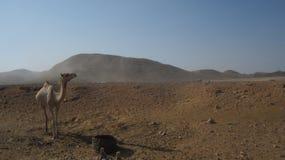 Egypten kamel Royaltyfri Bild