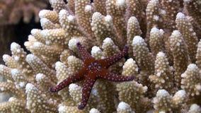 Egyptiaca spinoso di Gomophia delle stelle di Mar Rosso su underwater di corallo dell'Egitto video d archivio