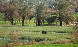 Egyptian agriculture Stock Photo