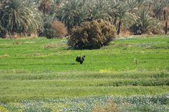 Egyptian agriculture Royalty Free Stock Image