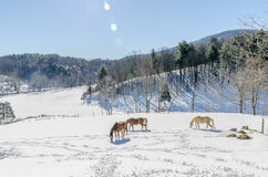Egyptian Arabian horses in snow. Three horses in the snow. . Winter scene of a pasture with snow in nature. Landscape of mountain and ridges in Virginia Stock Photos