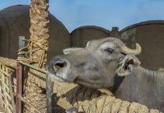 Egyptian Bovine Isolated. Stock Image. stock photos