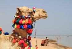 Egyptian camel. Camel on the beach of Sharm el Sheikh Royalty Free Stock Photo