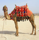 Egyptian camel Stock Photo