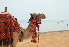 Egyptian camel Stock Images