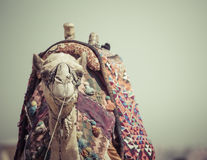 Egyptian Camel At Giza Pyramids Background. Tourist Attraction -