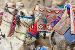 Egyptian Camel at Giza Pyramids background. Tourist attraction - Stock Photos