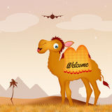 Egyptian camel Stock Photo