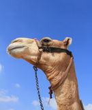 Egyptian camel Royalty Free Stock Photos