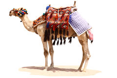 Egyptian camel on a sand Royalty Free Stock Images