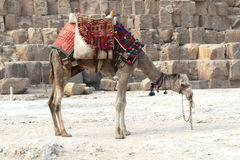 Egyptian Camel waiting for the tourists. New Great Pyramids, Giza Royalty Free Stock Photos