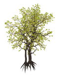 Egyptian carissa tree, c. edulis - 3D render Royalty Free Stock Images