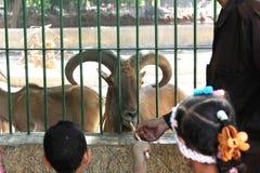 Egyptian children feeding mountain goat Stock Image