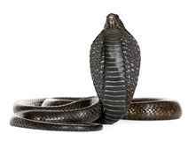 Egyptian cobra - Naja haje. In front of a white background Royalty Free Stock Photography