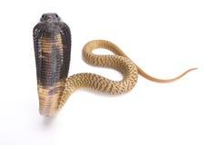 Egyptian cobra, Naja haje. The Egyptian cobra, Naja haje, is a large, highly venomous snake species found in Northern Africa Stock Photo