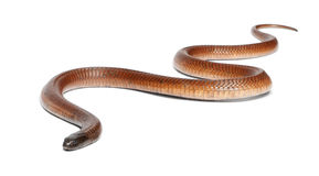 Egyptian cobra - Naja haje, poisonous Stock Image