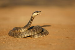 Egyptian Cobra. An Egyptian cobra in a position to strike Royalty Free Stock Photo