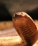 Egyptian Cobra Stock Images