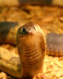 Egyptian Cobra Royalty Free Stock Photo