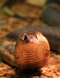 Egyptian Cobra Royalty Free Stock Photos