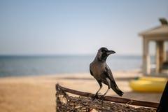 Egyptian Crows Royalty Free Stock Photos