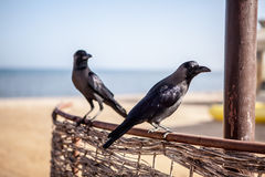 Egyptian Crows Stock Photography
