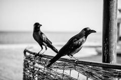 Egyptian Crows Royalty Free Stock Image