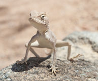 Egyptian desert agama lizard on a rock Stock Images