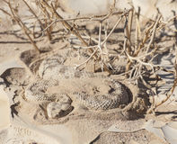 Egyptian desert viper snake in the sand Stock Images