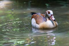 Egyptian Duck Royalty Free Stock Images