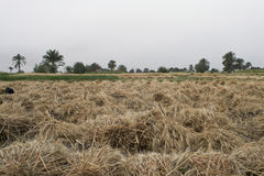 Egyptian Farm. Cut crops on a farm in Egypt stock photo