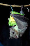 Egyptian fruit bat. An Egyptian fruit bat feeding on a piece of fruit in a zoo stock photography