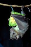 Egyptian fruit bat Stock Photography