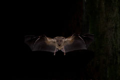 Egyptian Fruit Bat. (Rousettus aegyptiacus) flying at night Stock Images