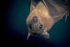 An Egyptian Fruit Bat. An upside down egyptian fruit bat or flying fox Royalty Free Stock Photos