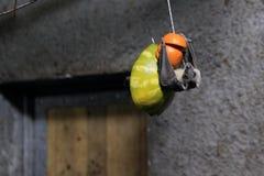 Egyptian fruit bat. Holding on to fruit Royalty Free Stock Photo