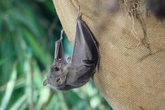 Egyptian fruit bat. Holding on to a bagging stock image