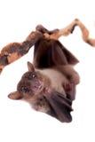 Egyptian fruit bat isolated on white Stock Image