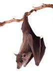Egyptian fruit bat isolated on white Royalty Free Stock Images