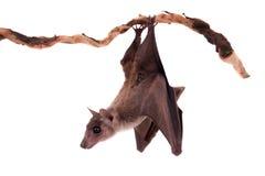 Egyptian fruit bat isolated on white. Egyptian fruit bat or rousette, Rousettus aegyptiacus. on white background Royalty Free Stock Photography
