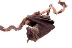 Egyptian fruit bat isolated on white Stock Photography